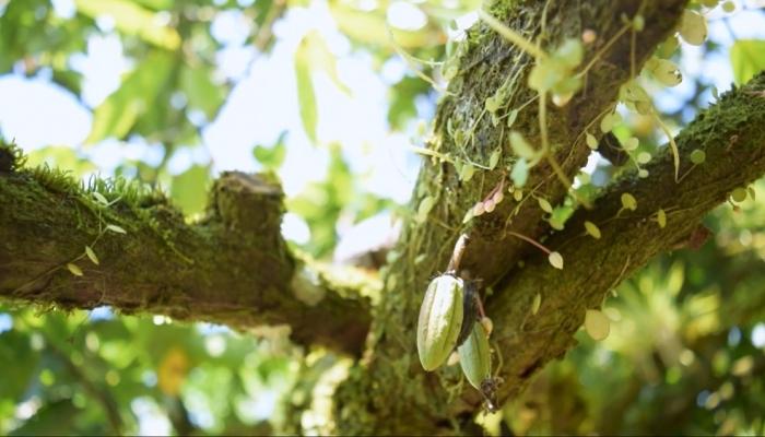 Memorias del cacao